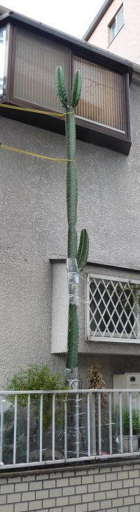 Very tall cactus in Tokyo